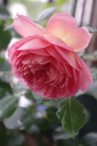 春バラの季節終了 - お散歩日和ときどきお昼寝