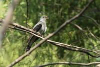 ツツドリ - 野鳥フレンド  撮り日記