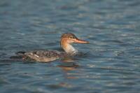 ウミアイサ - 野鳥フレンド  撮り日記