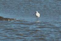 クロツラヘラサギ - 野鳥フレンド  撮り日記