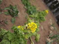 菜の花 - ichibey日々の記録
