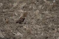コミミズク9 - 野鳥フレンド  撮り日記