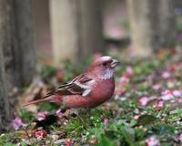 埼玉にオオマシコ! - Life with Birds 3