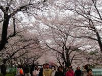 <2012年4月>待ちに待った2012満開桜、旧友・家族と楽しんだ春爛漫(前編) - ローリングウエスト(^-^)>♪逍遥日記