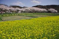 巾着田の春 - デジカメ写真集