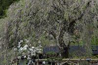 春、奥武蔵、阿寺の枝垂桜ほか - デジカメ写真集