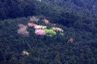 奥武蔵の山桜 - デジカメ写真集