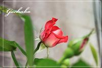 薔薇 - 赤煉瓦洋館の雅茶子