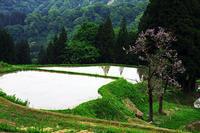 桐の花咲くころ@松之山の棚田 - デジカメ写真集