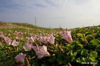 ハマヒルガオ2012-05-28更新 - 夕陽に魅せられて・・・