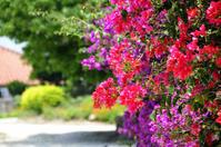 竹富島南の島の花時間 - あ お そ ら 写 真 社