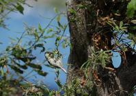 我が家ーシジュウカラ、コゲラ - 写真で綴る野鳥ごよみ