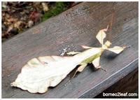 葉っぱが歩いてる。。。 - コタキナバル 旅行記・ブログ