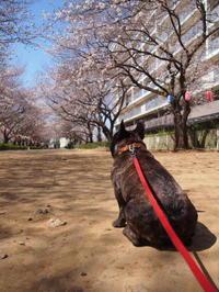 今日のワンコ、桜の開花進行中... - ichibey日々の記録
