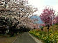 桜の文化 - トビイ ルツのTraveling Mind