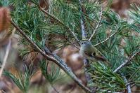 キクイタダキ - 北の鳥撮