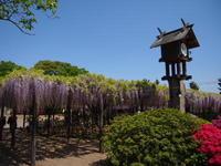 玉敷神社の藤 - ichibey日々の記録