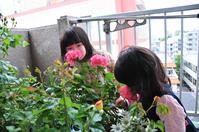 2013年5月2日(木)バラの香りを頂きます! - わびさび日記