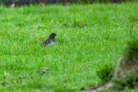 クロツグミ - 北の鳥撮
