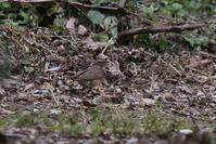 飛島2日目 - 野鳥フレンド  撮り日記