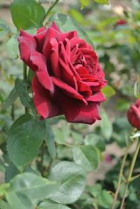 午前中は智光山公園まで薔薇を見に... - ichibey日々の記録