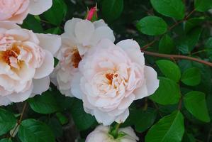 バラ満開のお庭 - mama's  recipe