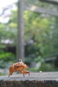 Cicada - ichibey日々の記録