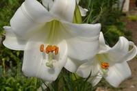 今朝の庭「タカサゴユリ」 - 楽しいことさがし2