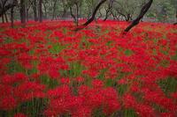 深紅の絨毯@巾着田 - デジカメ写真集