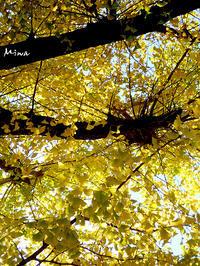 黄金色の秋にて - Miwaの優しく楽しく☆