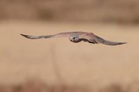 チョウセンチョウゲンボウ - 野鳥フレンド  撮り日記