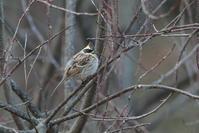 ミヤマホオジロ - 野鳥フレンド  撮り日記