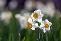 春の花など@巾着田 - デジカメ写真集