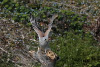 タケシマチョウゲンボウ - 野鳥フレンド  撮り日記