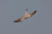 C・チョウゲンボウ - 野鳥フレンド  撮り日記