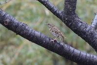 ウタツグミとツグミのバトル - 野鳥フレンド  撮り日記