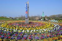 鼻高展望花の丘芝桜開花状況 2013 - 楽しいことさがし2