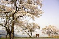 刈場坂峠のヤマザクラ咲く - デジカメ写真集