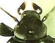 【我が家の珍事】 クロツヤキマワリPlesiophthalmus spectabilis - 自然感察 *nature feeling*