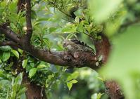 我が家ーコゲラ - 写真で綴る野鳥ごよみ