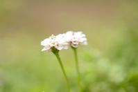 決死の草引き - お花びより
