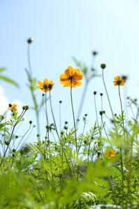 コスモス畑 - お花びより