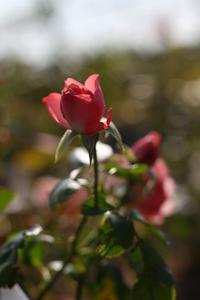 Roses -浪漫- - HAPPY to ...