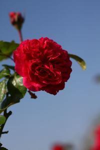 秋の薔薇 - HAPPY to ...
