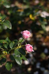 秋の薔薇 2 - HAPPY to ...
