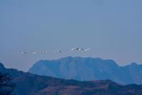 深谷、川本の白鳥 - デジカメ写真集