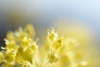 サンシュユ - お花びより