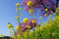 みなみの桜祭り 12015_03_28更新 - 夕陽に魅せられて・・・