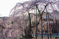 霊厳寺の枝垂れ桜咲く - デジカメ写真集