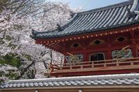 川越、喜多院の桜 - デジカメ写真集